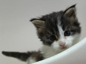 Mimi_kitten_033001