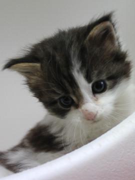 Mimi_kitten_033002