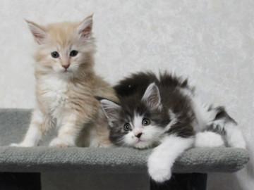 Ichigo_kittens_14101401