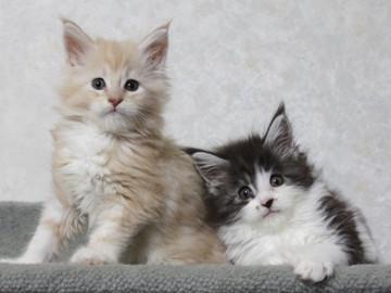 Ichigo_kittens_14101402