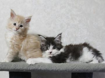 Ichigo_kittens_14101403