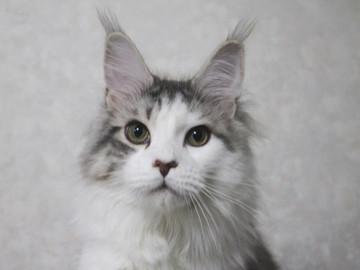 Lupinus_kittens_15041702
