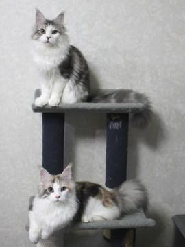 Lupinus_kittens_15041706