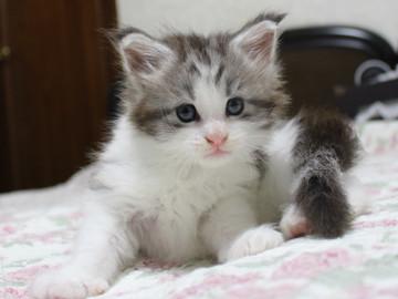 Towa_kitten_15081501