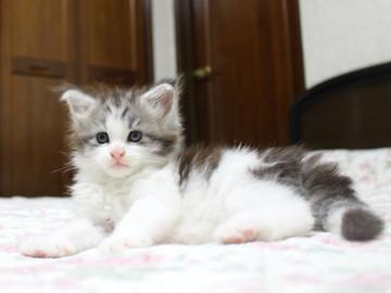 Towa_kitten_15081503