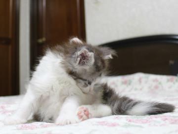 Towa_kitten_15081504