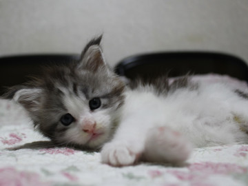 Towa_kitten_15081506