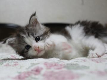 Towa_kitten_15081507