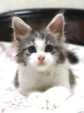 Towa_kitten_15091007