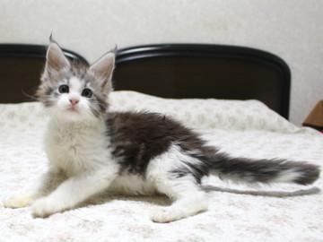 Towa_kitten_15091801