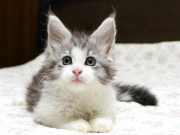 Towa_kitten_15091802