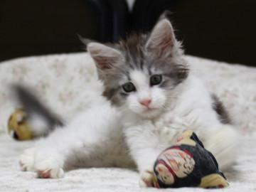 Towa_kitten_15093008