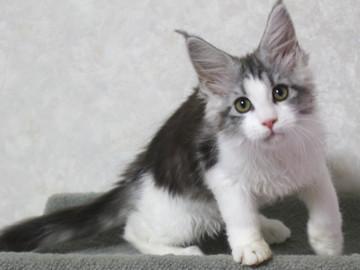 Towa_kitten15100905