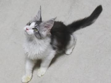 Towa_kitten15100908
