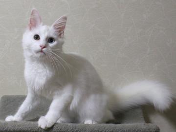 Bell_kitten2_16073103