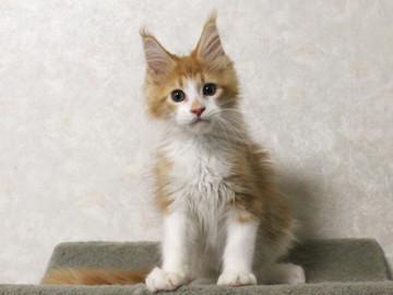 Cartier_kitten4_17061508