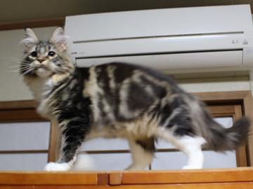 Cartier_kitten1_18043001