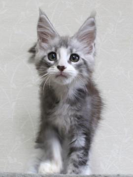 Clair_kitten1_18052803