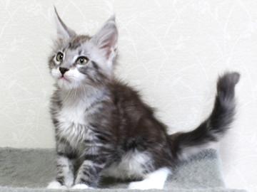 Clair_kitten2_18052906