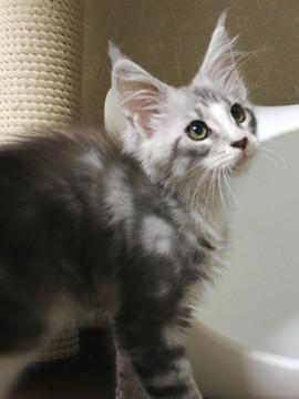 Clair_kitten1_18060601