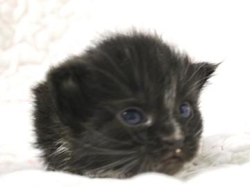 Cartier_kitten3_18081301