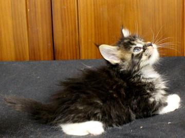 Cartier_kitten1_18090602