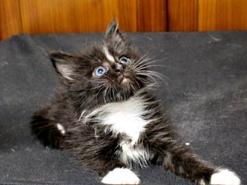 Cartier_kitten2_18090601