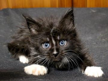 Cartier_kitten2_18090602