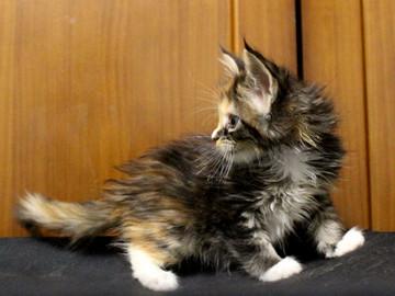 Cartier_kitten4_18090602