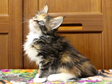 Cartier_kitten4_18091003