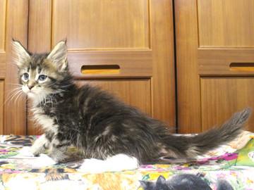 Cartier_kitten3_18091205