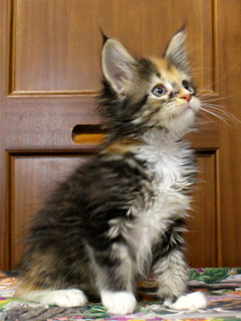 Cartier_kitten4_18091303
