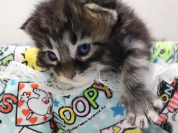 Ange_kitten1_18091501
