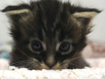Ange_kitten2_18092102