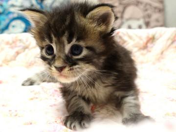 Ange_kitten3_18092101