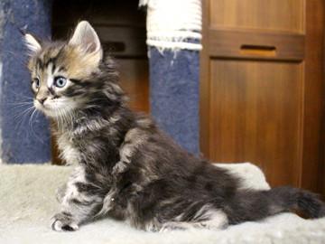 Ange_kitten1_18100404