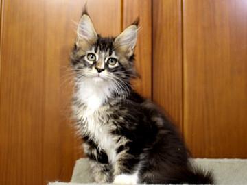 Cartier_kitten1_18100801
