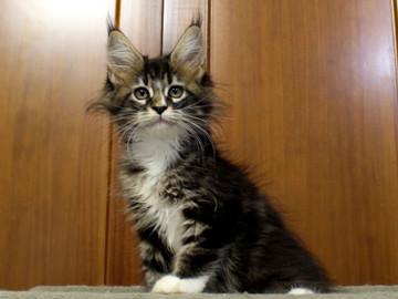 Cartier_kitten1_18100802