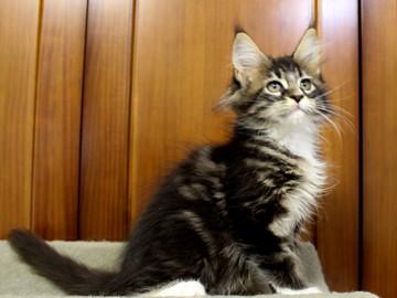 Cartier_kitten1_18100803