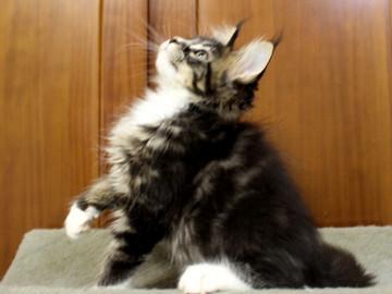 Cartier_kitten1_18100806