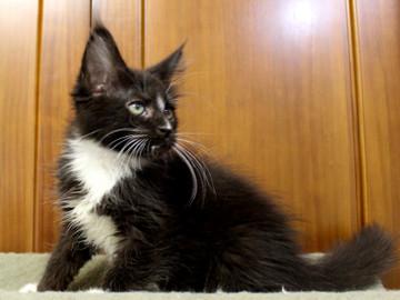Cartier_kitten2_18100804