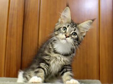 Cartier_kitten3_18100803