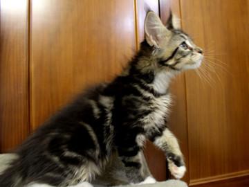 Cartier_kitten3_18100805