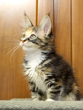 Cartier_kitten4_18100803