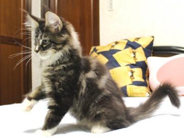 Cartier_kitten1_18102404