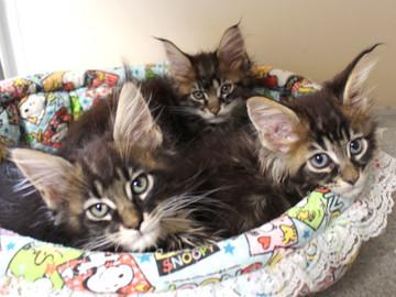 Ange_kittens_18110402