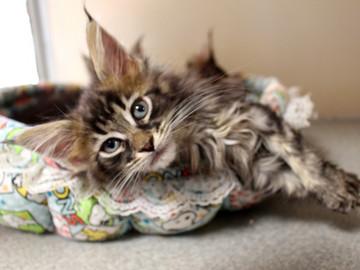 Ange_kittens_18110403