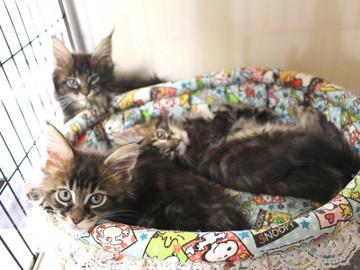 Ange_kittens_18110408