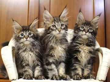 Ange_kittens_18111703