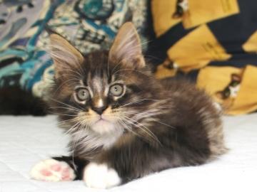 Ange_kitten1_19050804